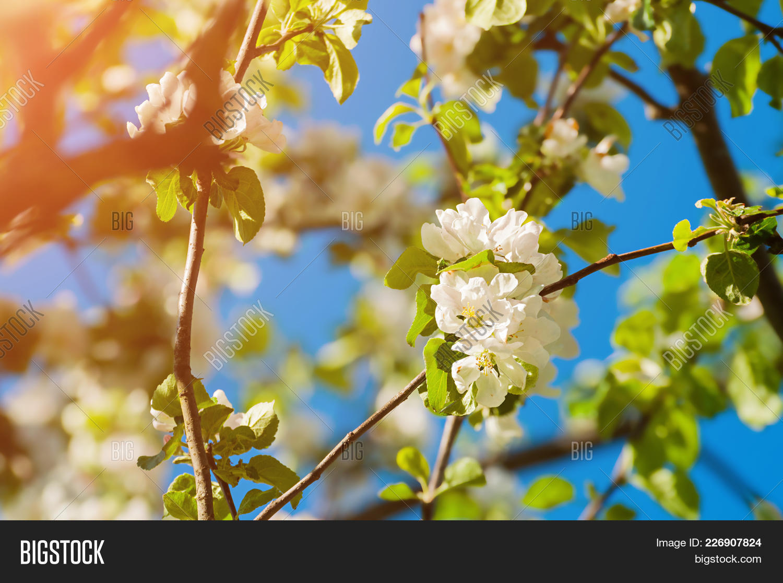 Spring Flowers Apple Image Photo Free Trial Bigstock
