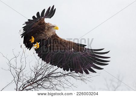 Large Majestic Sea Eagle Flying Over The Trees In The Mountains.