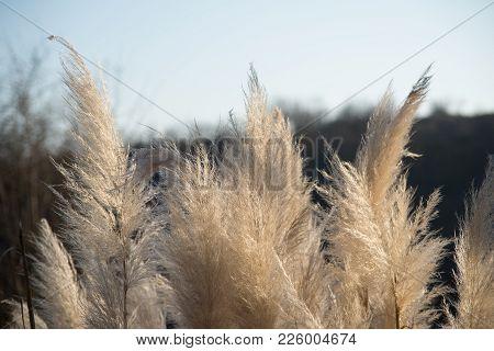Cortaderia Selloana, Aquatic Plants, Pampas Grass Inflorescences