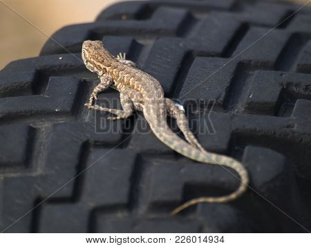 An Arizona Fence Lizard Sunning Itself On The Dark Rubber Tread Of An Old Tire. These Lizards Are Of