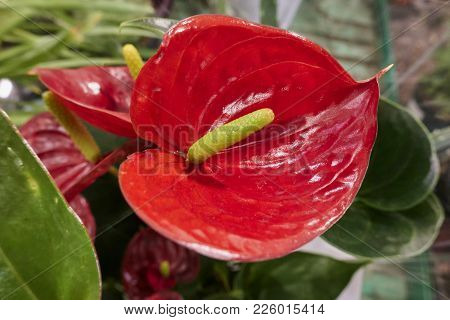 A Beautiful Red   Anthurium In The Vase