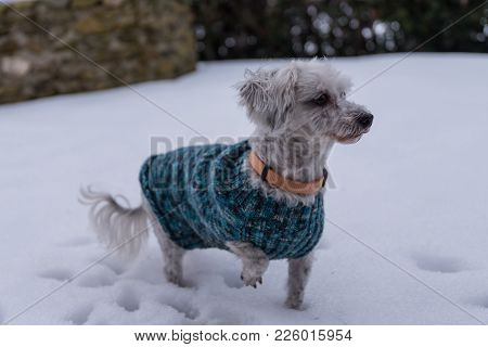 White Little Dog With A Dog Sweater In The Snow