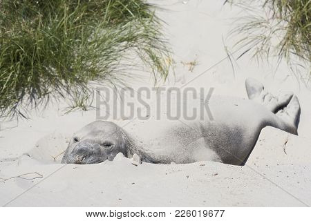 Southern Elephant Seal (mirounga Leonina) Resting In The Sand Dunes On Carcass Island In The Falklan