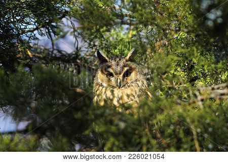 Long Eared Owl ( Asio Otus ) Standing In A Tree