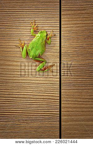 Cute Green Tree Frog Climbing On Wooden Furniture Into The House ( Hyla Arborea ); Sometimes These T