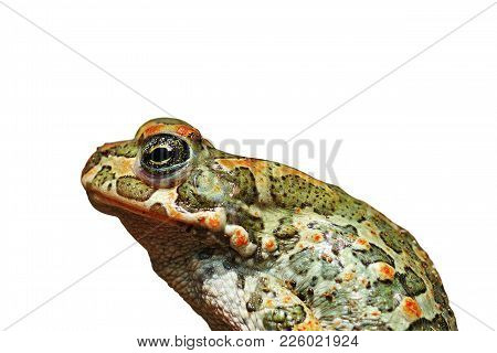 Profile Of  European Green Toad ( Bufotes Viridis ), Isolated Over White Background