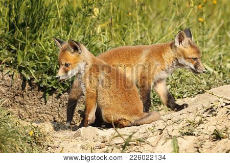 Two Eurasian Red Fox Cubs In Natural Habitat ( Vulpes )