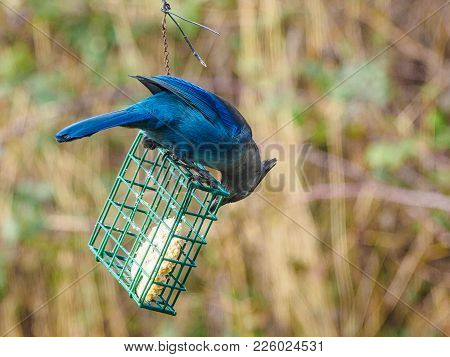 Blue Jay On A Feeder