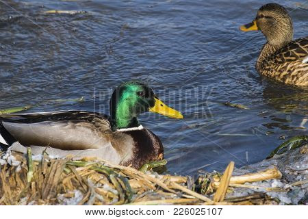 Mallard Drake Floats In Cold Water (anas Platyrhynchos)