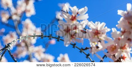 Freedom Concept. Wire Barbed Fence And Blur Almond Tree Blossoms On Blue Sky Background