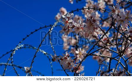 Freedom Concept. Wire Barbed Fence And Almond Tree Blossoms On Blue Sky Background