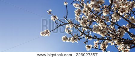 Almond Or Apple Tree Blooming In Spring On Blue Sky Background, Close Up View With Details