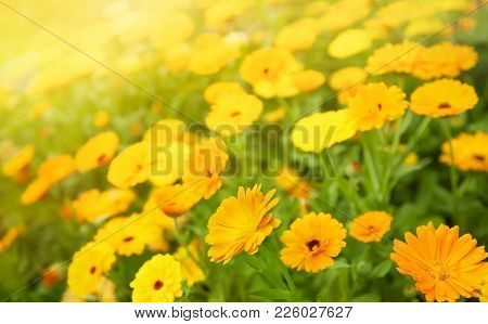 Blurred Summer Background With Marigold Flowers Field In Sunlight. Beautiful Nature Scene With Bloom