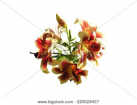 Isolated image: lilies and a bud on a white background