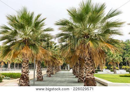 Palm Trees Along The Malagueta Beach In Malaga, Spain, Europe