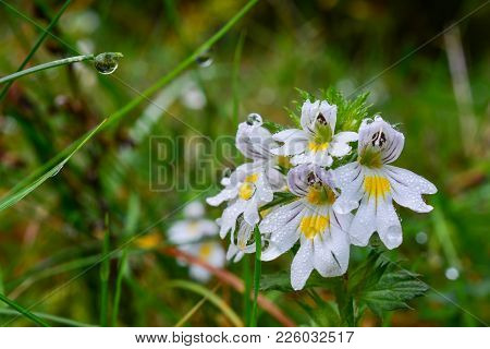 Mountain Meadow In Morning Dew, Grass And Wild Wite And Yellow Flowers Covered With Water Drops