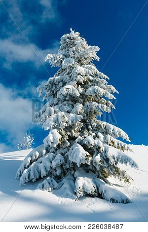 Beautiful Winter Snow Cowered And Rime Frosting Big Fir Tree On Mountain Slope With Snowdrifts On Bl