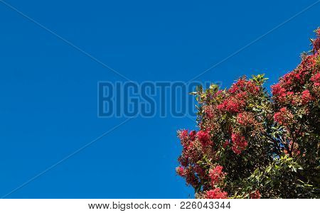 Pohutukawa Tree Flowering With A Blue Sky Background.