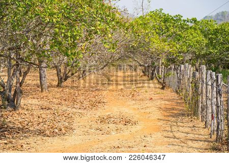 Cashew Tree Garden With Wooden Fence In Tay Nguyen, Central Highlands Of Vietnam