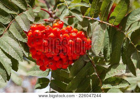 Bunch Of Ripe Rowanberry Fruit On Rowan Tree With Leaves