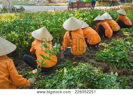Vietnamese Women In Conical Hat Harvest Flower In Park Preparing For National Holiday. Common Famili