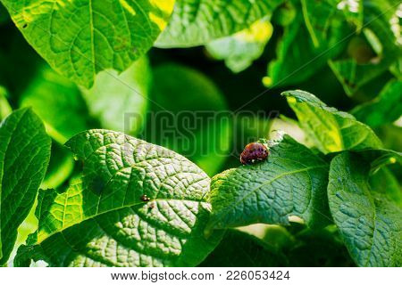 Potato Leaves With A Colorado Beetle On Them