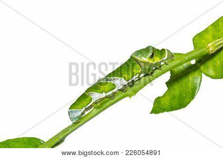 Great Mormon (papilio Memnon) Caterpillar