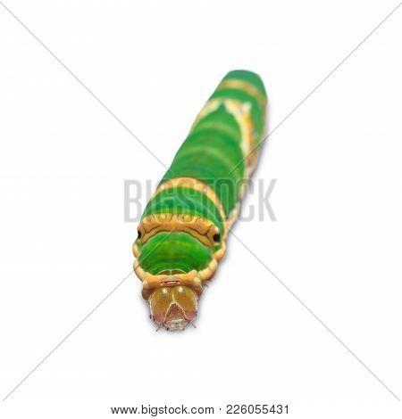 Banded Swallowtail (papilio Demolion) Caterpillar