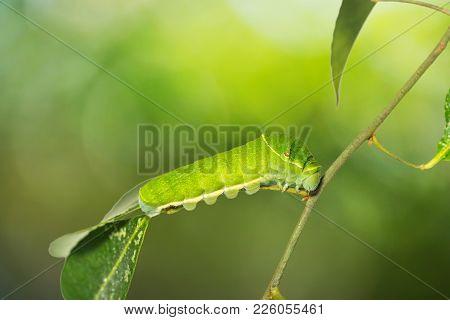 Paris Peacock (papilio Paris) Caterpillar