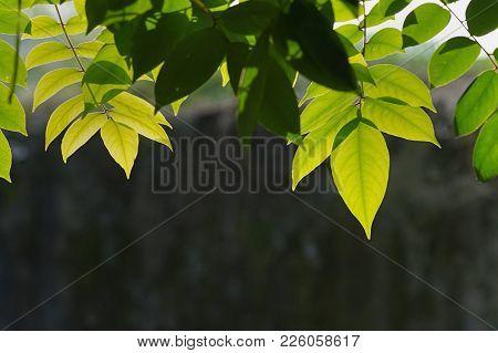Green Leaves Of Star Fruit Tree Under Sun Light