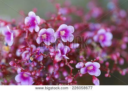 Cluster Of Star Fruit Blossom Flower Close Up