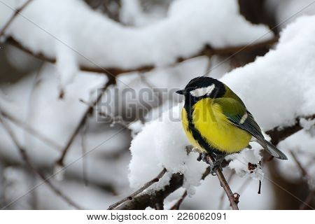 Titmouse Sits On A Tree Branch In Winter.
