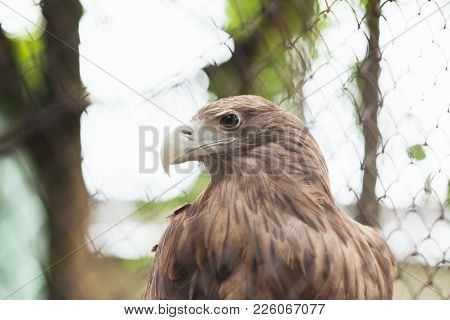 White-tailed Eagle In Captivity In A Cage For Any Purpose