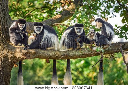 A Troop Of Mantled Guereza Monkeys Also Known As Colobus Guereza With Two Newborns