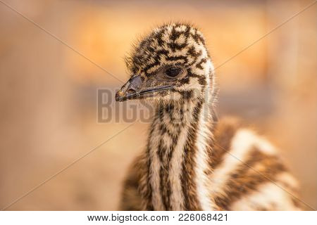 Portrait Of A Baby Australian Emu Also Known As Dromaius Novaehollandiae