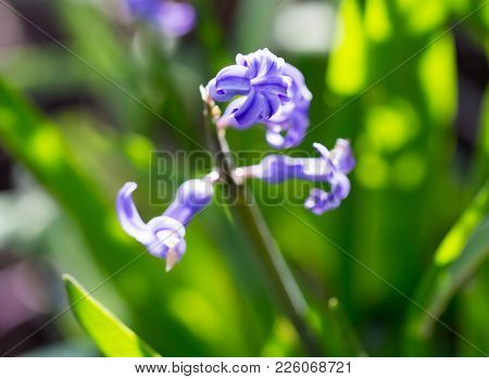 Beautiful Blue Flower On Nature. Macro . In The Park In Nature