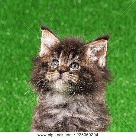 Cute Maine Coon Kitten Portrait Over Bright Green Grass Background