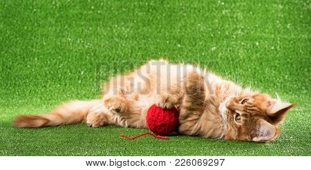 Cute Maine Coon Kitten Play With Yarn Ball Over Green Grass Background