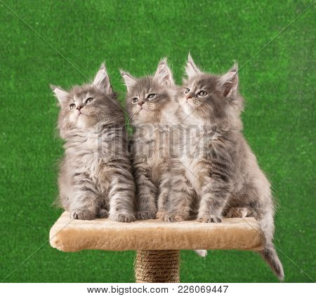 Maine Coon Kittens On The Scratching-stone Over Green Grass Background