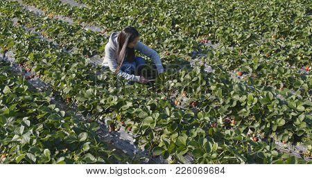 Woman cutting strawberry in field