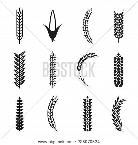 Vector Wheat Ears Icons. Oat And Wheat Grains Symbols. Corn Icon