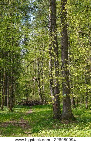 Narrow Path Through Early Spring Sunny Forest With Wood Anemone Around, Bialowieza Forest, Poland, E
