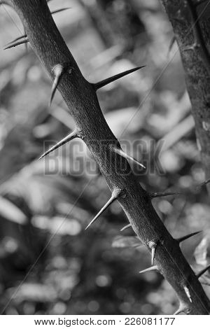 Spiky Branch In Black And White Picture