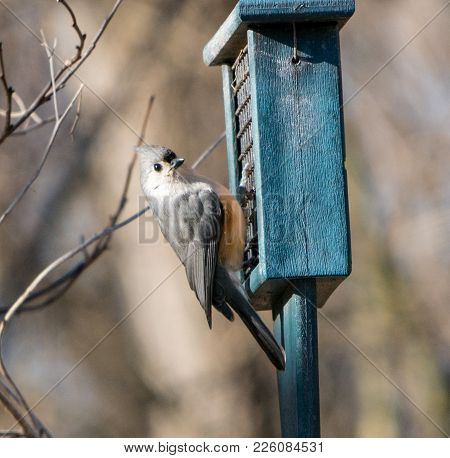 Tufted Titmouse On Blue Bird Feeder Looking At Camera On Winter Morning