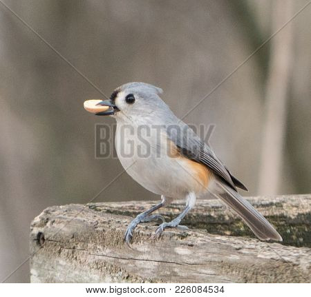 Tufted Titmouse On Wooden Birdfeeder With Peanut In Its Beak In The Winter
