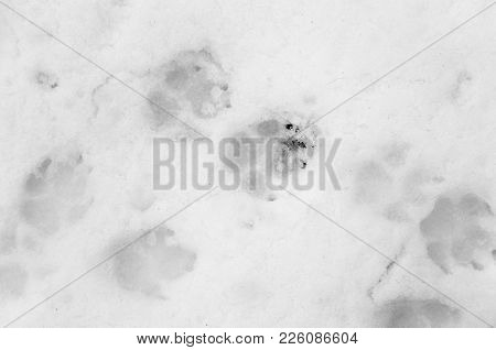 Dog Footprints On White Snow . Photo Of An Abstract Texture