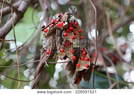 The Seeds Of Abrus Precatorius Are Much Valued In Native Jewelry For Their Bright Coloration.