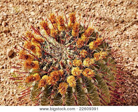 Barrel Cactus Desert Botanical Garden Phoenix Arizona