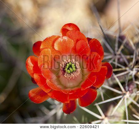 Orange Cactus Flower