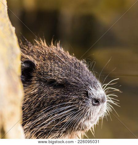 Small Curious Coypu Looking From Behind The Stone. Water Animal Also Known As River Rat Or Myocastor